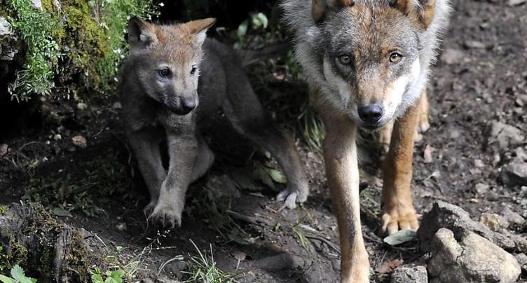 Loup plus facilement abattu: une commission enfonce le clou