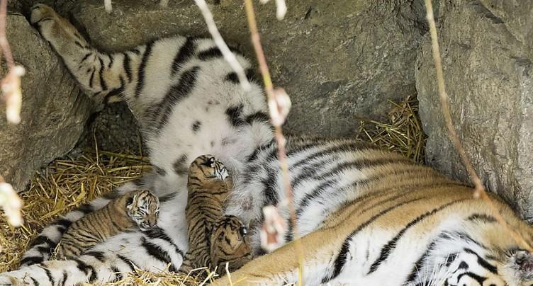 Naissance de trois tigres de Sibérie au Zoo Walter à Gossau (SG)