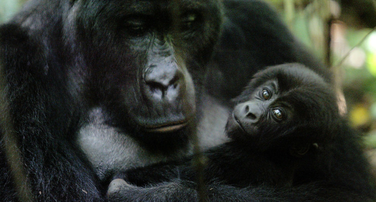 Les gorilles d'Afrique occidentale plus nombreux que supposé
