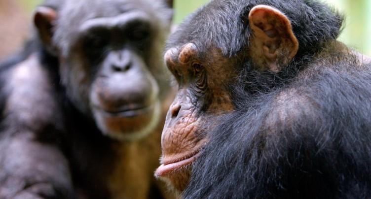 Le chimpanzé adapte son cri en fonction du contexte (étude)