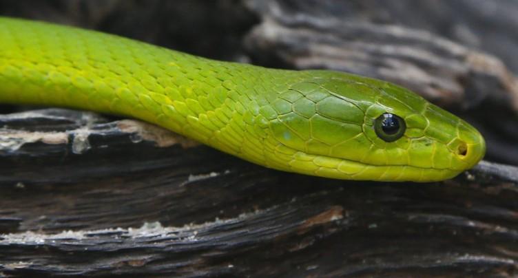 UNIGE: une carte planétaire des morsures de serpents