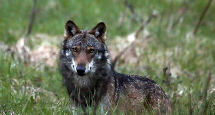 Chèvre tuée par un loup dans le canton de Lucerne