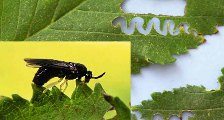 Gel tardif, bostryche et nouvelles espèces de ravageurs en 2017