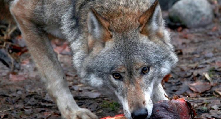 Deux moutons tués par un loup dans le canton d'Uri