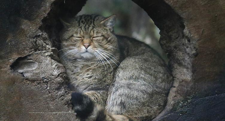 Le chat sauvage de retour dans le canton de Fribourg