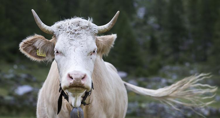 Le Conseil fédéral combat l'initiative pour les vaches à cornes
