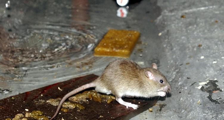 Une partie de Bienne privée de courant à cause de rats