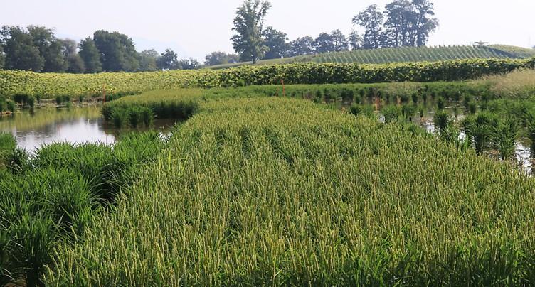 Agroscope: cultiver du riz pour revaloriser les zones inondables