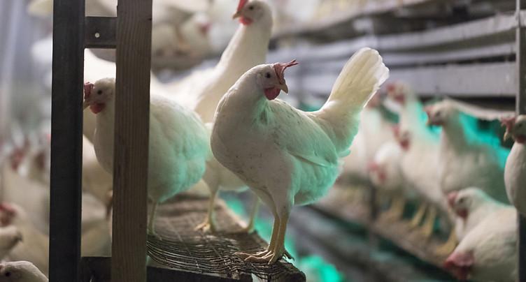 La Suisse compte une poule pondeuse pour trois habitants