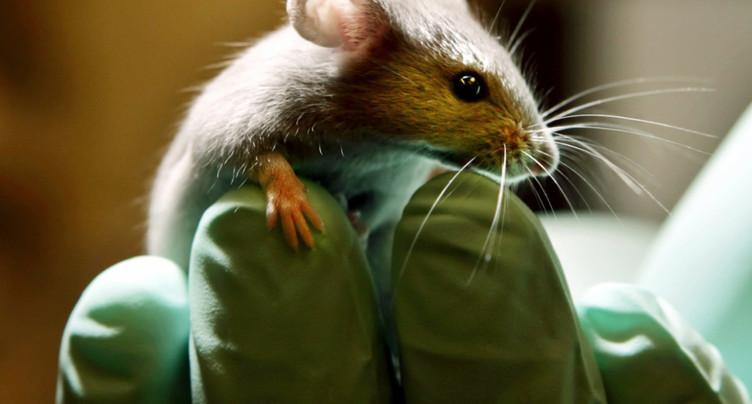Poursuite de l'expérimentation animale soumise au verdict des urnes