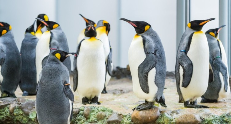 Les manchots sont de retour au zoo de Bâle