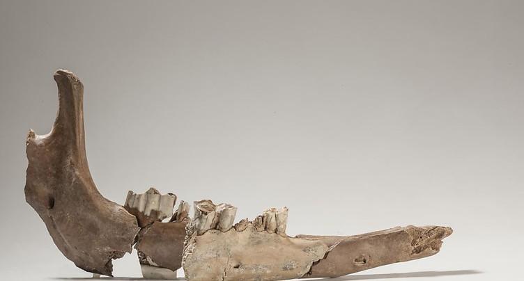 Os de mâchoire de chameau de l'époque romaine découverts à Bâle