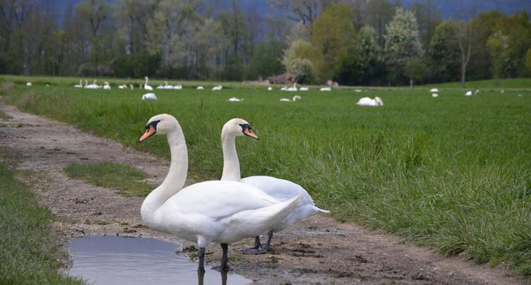 Nouveaux cas de grippe aviaire à Yverdon