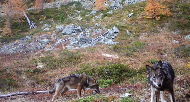 Très peu d'hybridation entre loups et chiens dans les Alpes suisses