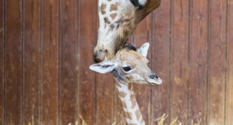 Carnet rose chez les petits koudous et les girafes