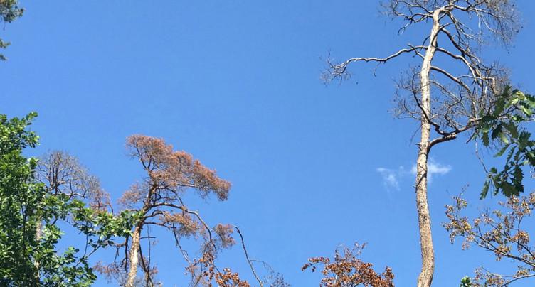 Le réchauffement menace de plus en plus les arbres, en Suisse aussi