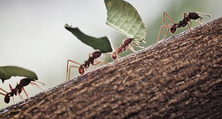 Les fourmis bâtisseuses de sentiers font ce qui leur plaît