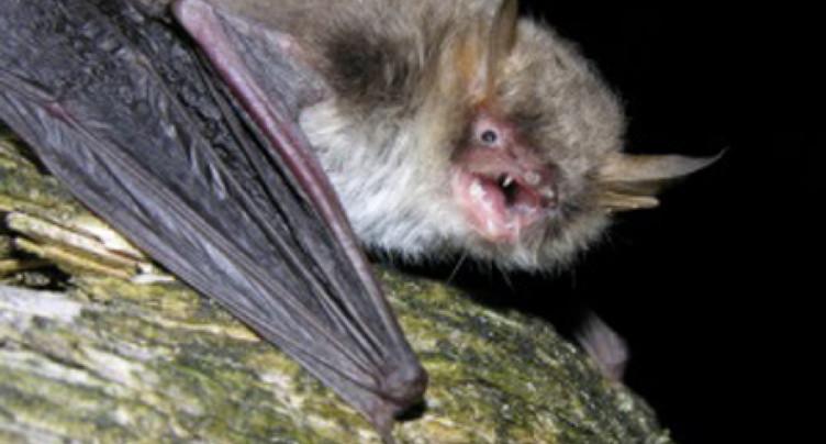 Deux nouvelles espèces de chauves-souris identifiées