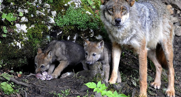 Une commission revoit les dispositions sur la mise à mort du loup