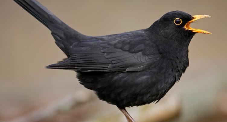 Les premiers oiseaux migrateurs sont de retour