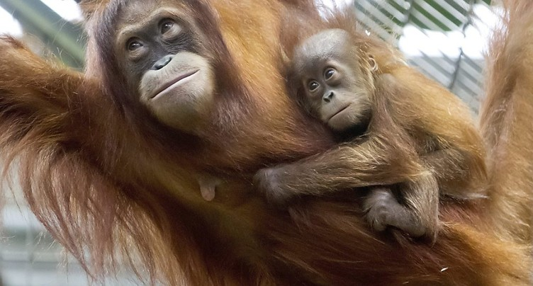 Nénette, une quinqua orang-outan toujours star