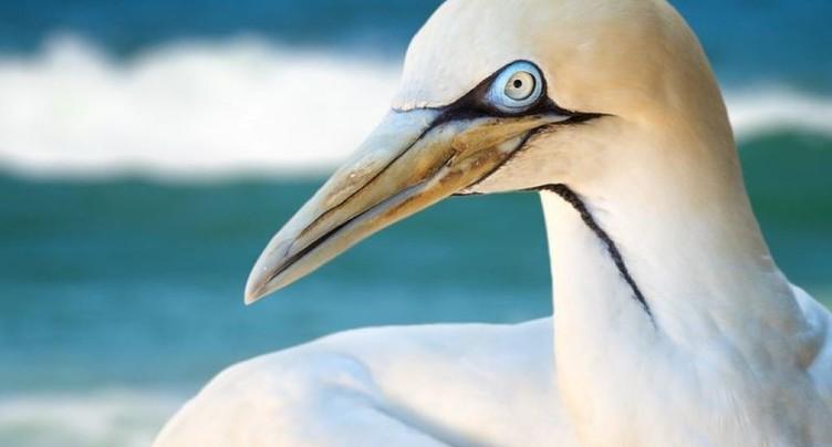 Grande America: oiseaux mazoutés sur des plages basque et landaise