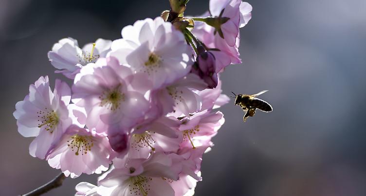 Des parcs et jardins moins ordonnés feraient du bien aux abeilles