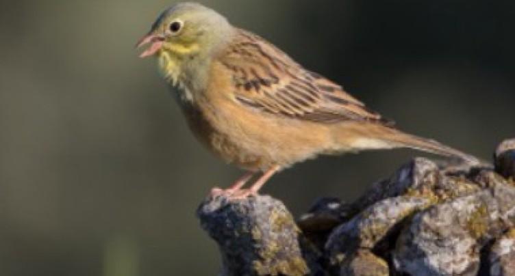 La chasse à l'Ortolan a décimé l'espèce en Europe occidentale
