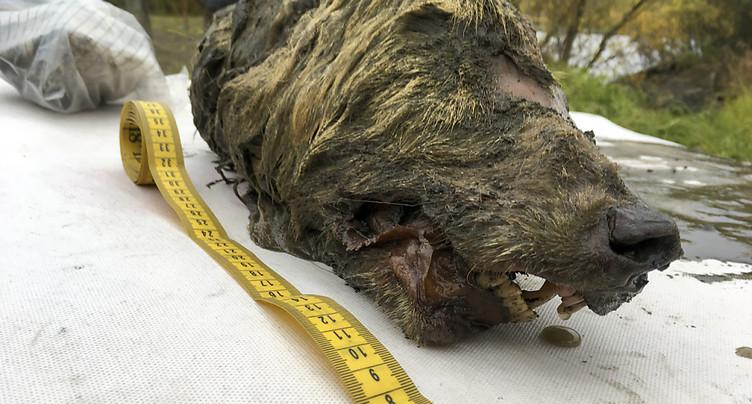 Tête de loup vieille de 32'000 ans découverte en Sibérie