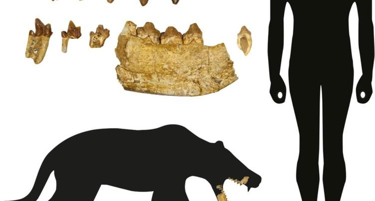 Argovie: nouveau genre de mammifères carnivores préhistoriques