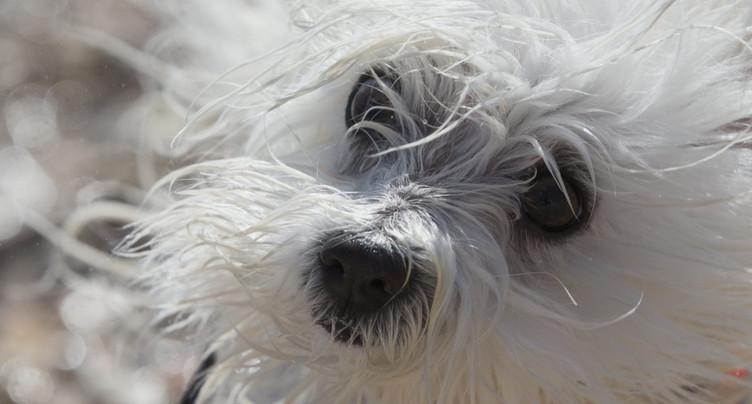 Des chercheurs dissèquent le regard attendrissant du chien
