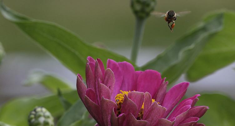 Pas de contre-projet aux initiatives populaires sur les pesticides