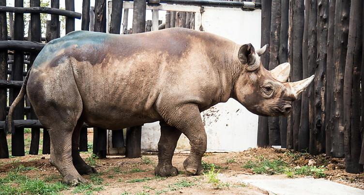 Cinq rhinocéros d'un zoo tchèque réinstallés au Rwanda
