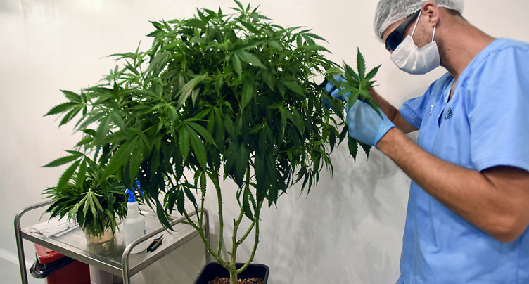 L'accès au cannabis médical devrait être facilité