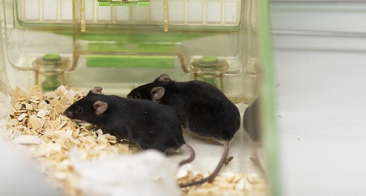 Le Conseil fédéral ne veut pas interdire l'expérimentation animale