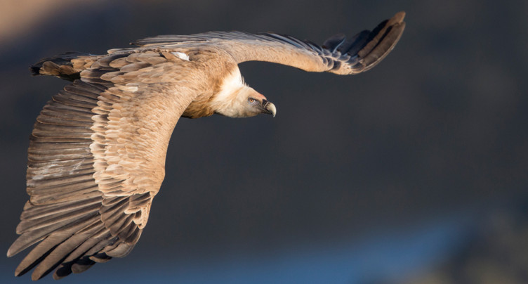 De nombreux vautours fauves passent l'été en Suisse