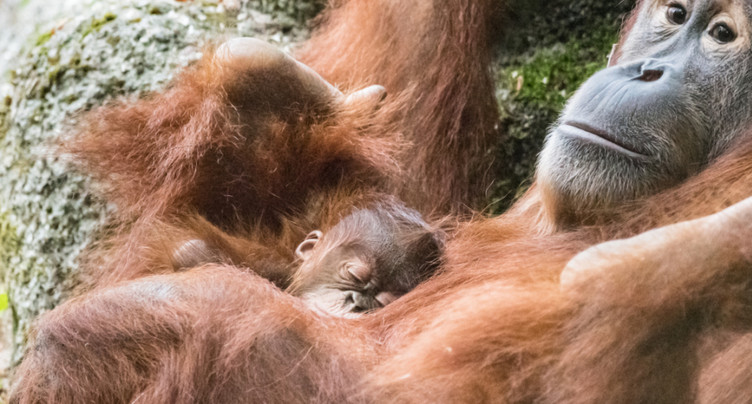 Quand il est temps de décamper, maman orang-outan se gratte