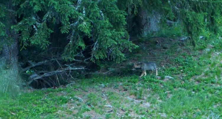 Nouvelle meute de loups découverte aux Grisons
