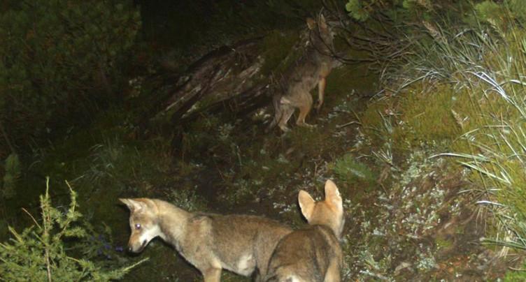 Probable quatrième meute de loups aux Grisons