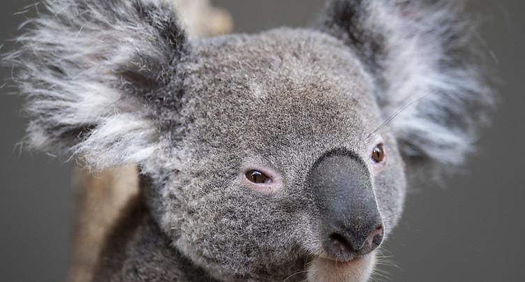 Des matières fécales permettent de sauver des koalas affamés