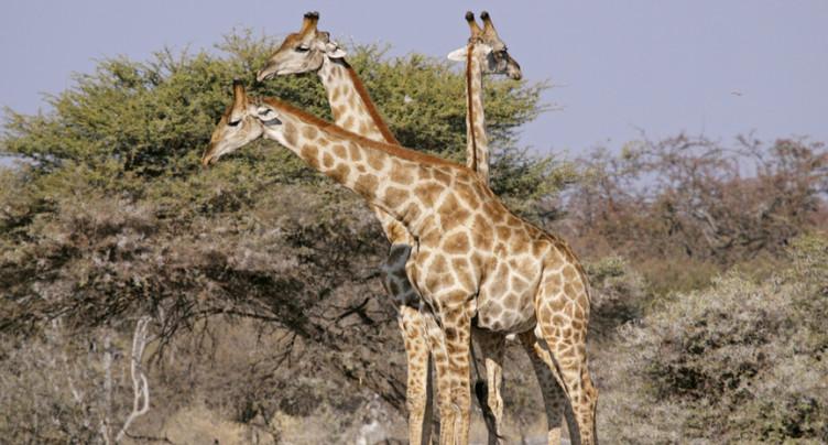 La CITES vote en faveur de la protection des girafes