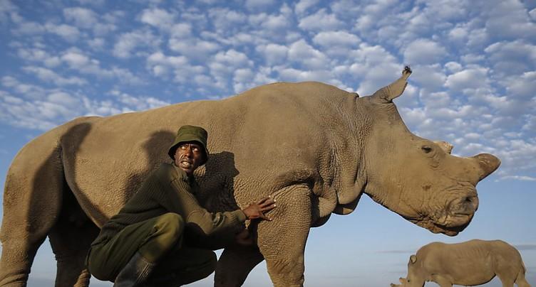Un pas de plus pour sauver le rhinocéros blanc du Nord