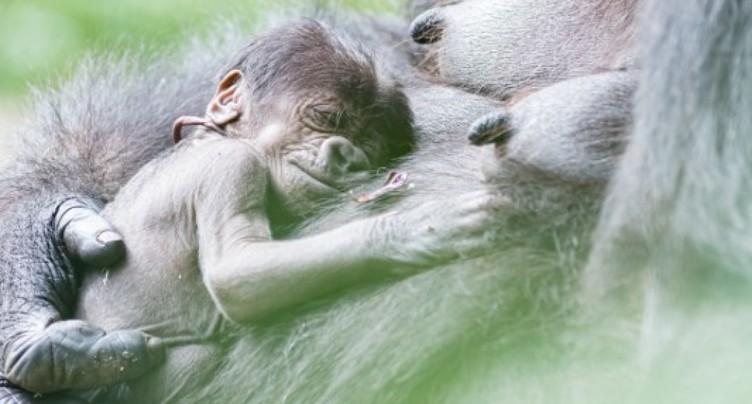 Un petit gorille a vu le jour au zoo de Bâle