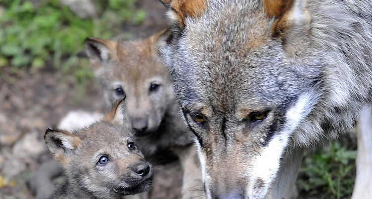 Le loup devrait plus facilement être abattu - le peuple tranchera