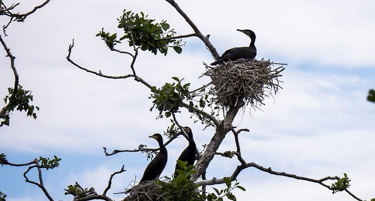 Lac de Neuchâtel: les cormorans en ligne de mire
