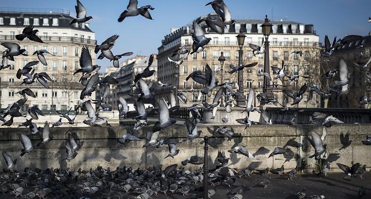 La décoiffante vérité sur les pigeons estropiés