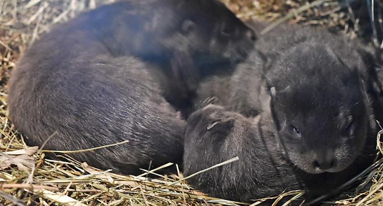 Le zoo de Zurich présente trois petites loutres
