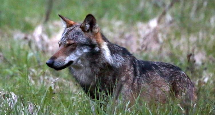 Valais 2019: Dix-huit loups identifiés et 205 animaux de rente tués