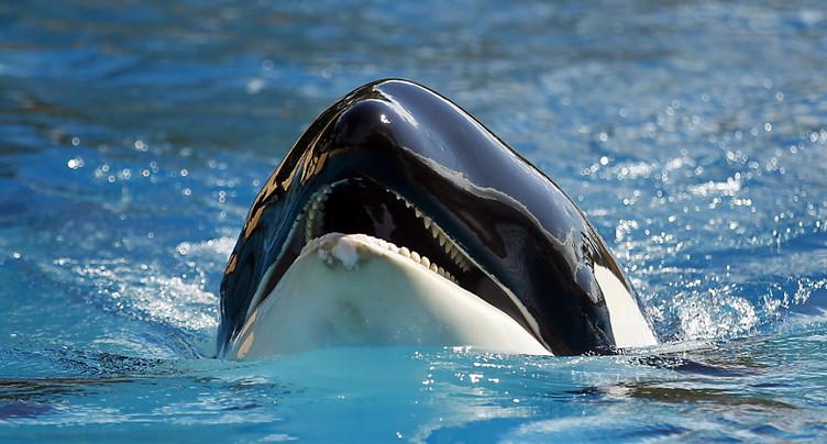 Les orques ménopausées dopent la survie de leurs petits-enfants