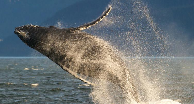 Un guide condamné pour s'être approché trop près d'une baleine